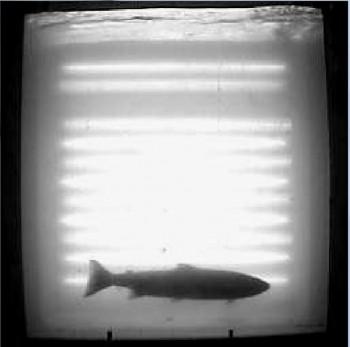 Le 1er saumon de l'année à Masseys!
