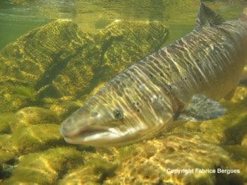 saumon ss l'eau copyright Fabrice Bergues